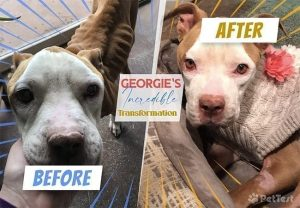 """A Tale of Two """"Pitties"""" – Georgie's Total Transformation"""