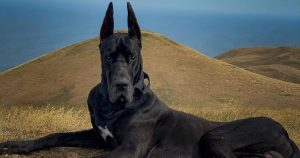 This Great Dane Is Insta Famous For His Batman-Like Appearance!